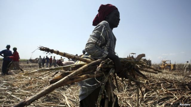 A laborer gathers sugarcane at a commercial farmland in Numan community, Adamawa state, northeast of Nigeria, Nov. 2009.