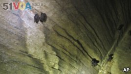 In this Thursday May 8, 2014 photo, bats hang from the ceiling of the Aeolus cave in Dorset, Vt. (AP Photo/Wilson Ring)