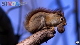 A red squirrel sits in a tree with an ample meal of a black walnut in his mouth in the state of Ohio, 2000. (AP Photo/Amy Sancetta)